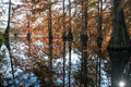 Bald cypress in automn french countryside lake with reflections Royalty Free Stock Image