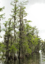 Bald cypress louisiana bayou axodium distichum these are the beautiful spanish moss covered trees in the lake pontchartrain of usa Royalty Free Stock Image