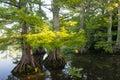 Bald Cypress at Reelfoot Lake Royalty Free Stock Photo