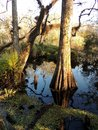 Bald Cypress Tree in 6 Mile Slough Royalty Free Stock Photo