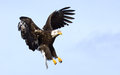 Bald eagle alaska usa coming in for a landing wings stretched Royalty Free Stock Image