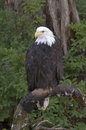 Bald eagle american in alaska Royalty Free Stock Image