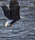 Bald eagle american catches fish in its talons backlit image Stock Photos