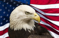 Bald Eagle and American Flag Royalty Free Stock Photo