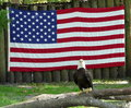 Bald eagle and american flag an injured is being cared for in captivity in florida due to its injuries the of the united states is Stock Photography
