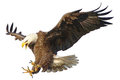 Bald Eagle attack vector illustration. Royalty Free Stock Photo