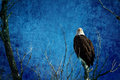 Bald Eagle Blues Into The Night Royalty Free Stock Images