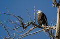 Bald Eagle Calling Out While Perched High in the Winter Tree Royalty Free Stock Photo