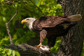 Bald eagle with catfish in tree prepares to eat a pulled out of the river profile view Stock Photography