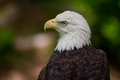 Bald Eagle Close Up Looking Left Royalty Free Stock Photo