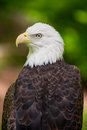 Bald Eagle Close Up Looking Left Portrait Royalty Free Stock Photo
