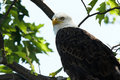Bald Eagle Closeup Stock Photo