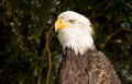 Bald eagle closeup portrait of a Royalty Free Stock Image