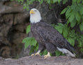 Bald Eagle closeup sitting on a downed tree Royalty Free Stock Photo