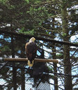 Bald Eagle Facing Proud Royalty Free Stock Photo
