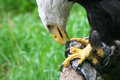 Bald eagle feeding on fish Royalty Free Stock Photos
