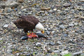Bald eagle feeding on the shoreline at icy strait point in alaska Royalty Free Stock Photography