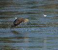 Bald eagle and fish a in flight as it drops a he had caught against a blue water background Stock Photography