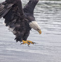Bald eagle in flight adult opens her talons near the waters surface summer minnesota along the mississippi river Stock Photo