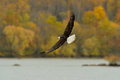 Bald eagle in flight fishing over a river and a fall background Stock Photography