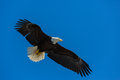 Bald eagle flying above Stock Photos