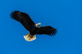 Bald eagle flying above looking for prey Royalty Free Stock Image