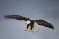 Bald eagle flying homer alaska with legs down Royalty Free Stock Photo