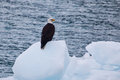 Bald eagle flying on an iceberg in alaska Royalty Free Stock Photo