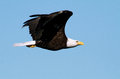 Bald eagle a great is flying with outspread wings Royalty Free Stock Photos