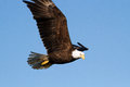 Bald eagle a great is flying with outspread wings Stock Photos
