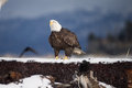 Bald eagle on ground in alaska adult near homer Royalty Free Stock Image