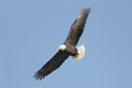 Bald eagle haliaeetus leucocephalus adult in flight against a blue sky Royalty Free Stock Photos