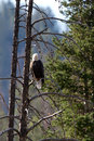 Bald eagle haliaeetus leucocephalus a perches in a dead tree over the salmon river near stanley idaho Royalty Free Stock Photos