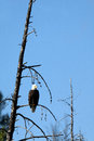 Bald eagle haliaeetus leucocephalus a perches in a dead tree over the salmon river near stanley idaho Stock Photos