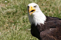 Bald eagle haliaeetus leucocephalus portrait of an adult sea with large hooked beak white head and brown plumage national Stock Photos