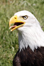 Bald eagle haliaeetus leucocephalus portrait of an adult sea with large hooked beak white head and brown plumage national Stock Image
