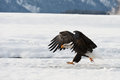 Bald eagle haliaeetus leucocephalus walk on the snow about to land chilkat river alaska usa america Royalty Free Stock Image