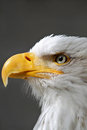 Bald eagle head close up american shot portrait Stock Photos