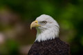 Bald Eagle Head Looking Left Royalty Free Stock Photo