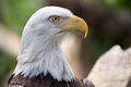 Bald Eagle Head Shot Royalty Free Stock Image