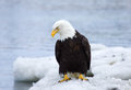 Bald eagle on ice alaska sitting floats Royalty Free Stock Image
