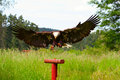 Bald Eagle Landing Royalty Free Stock Photo