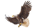 Bald Eagle landing vector. Royalty Free Stock Photo