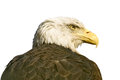 Bald eagle large predatory bird it is isolated on a white background Royalty Free Stock Photography