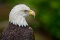Bald Eagle Looking Right Royalty Free Stock Photo