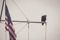 Bald eagle on a mast with flag sits next to an american looks peaceful Royalty Free Stock Photography