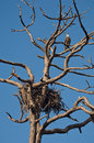 Bald Eagle and Nest Stock Photo