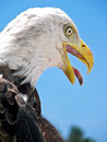 Bald eagle with open beak close up of a protruding tongue Royalty Free Stock Photography
