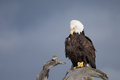 Bald eagle perched on driftwood homer alaska beautiful Stock Images