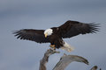 Bald eagle perched on driftwood homer alaska beautiful Royalty Free Stock Images
